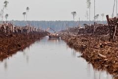 Perusakan Hutan Lahan Gambut dan Habitat Orangutan di Kuala Labai